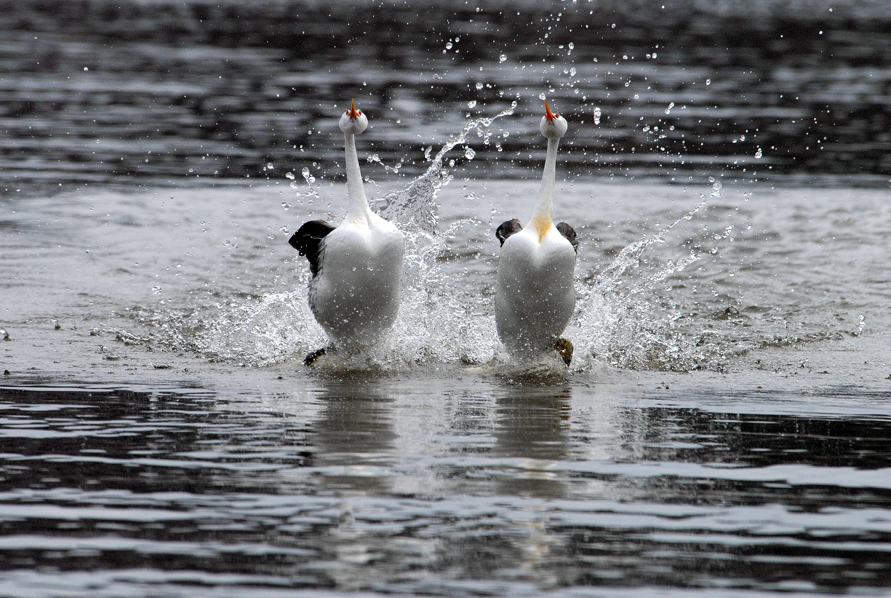 https://i1.wp.com/upload.wikimedia.org/wikipedia/commons/8/80/Clarks_grebes_rushing_%286862203949%29.jpg