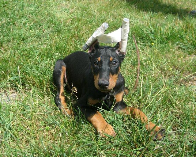 Doberman earstaped Pitbull Dog Ears