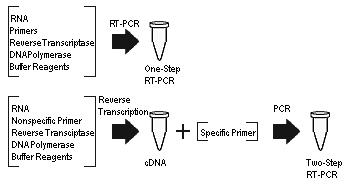 https://i1.wp.com/upload.wikimedia.org/wikipedia/commons/8/80/One-step_vs_two-step_RT-PCR.jpg?w=640&ssl=1
