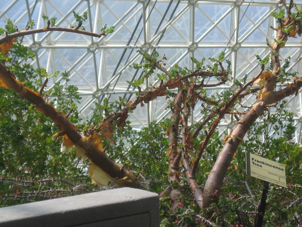 Boswellia sacra (syn. Boswellia carteri) insid...