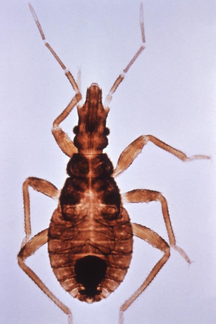 Vista dorsal de Triatoma infestans