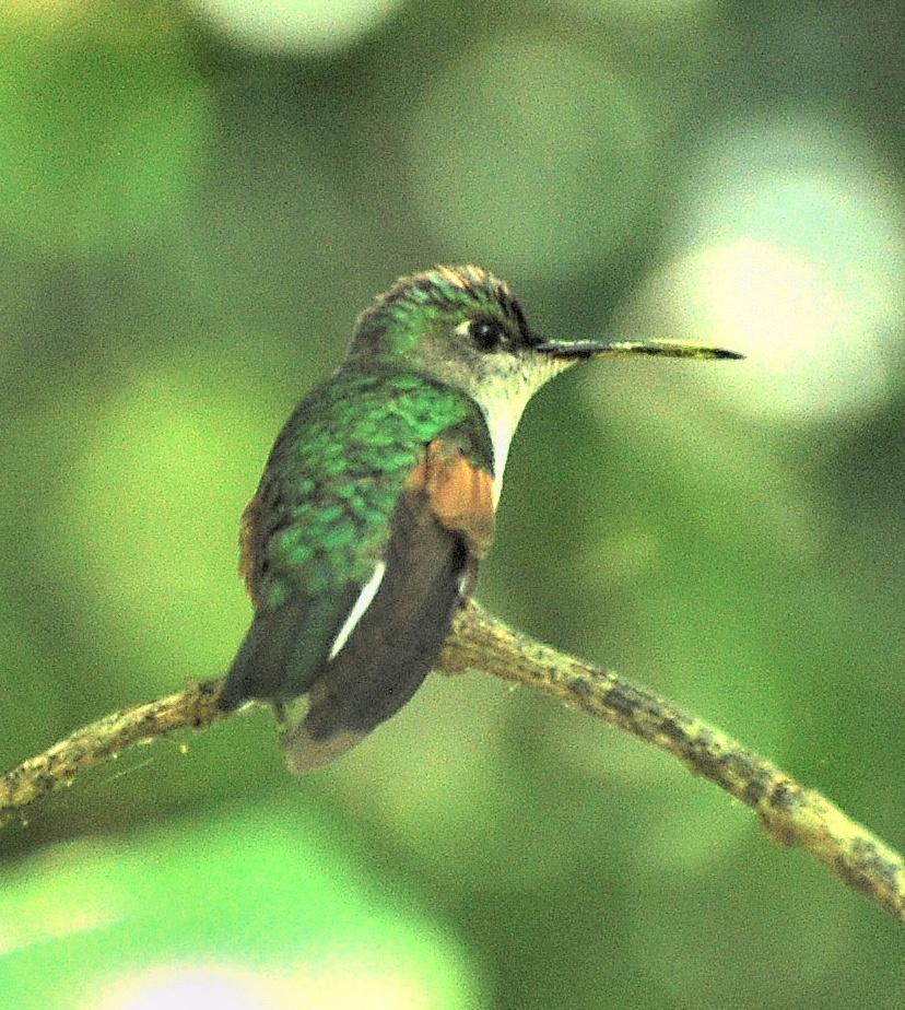 Colibri D Oaxaca Wikip 233 Dia