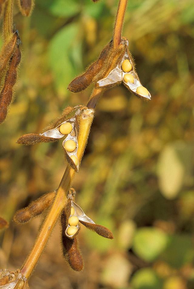 Soybean.USDA.jpg