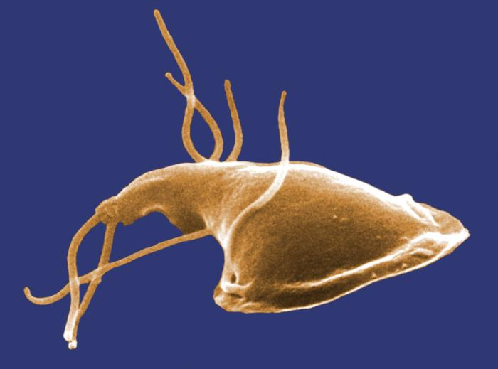 Digitally-colourised, scanning electron micrograph of a Giardia protozoan from a rat's intestine, showing the thread-like flagella that it uses to move (click to embiggen)