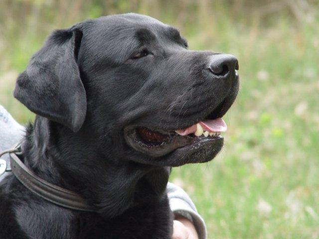 Labrador retriever bulaj1.jpg