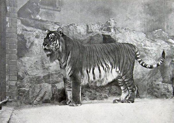 Harimau Kaspian