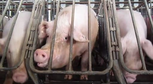Gestation crates 5