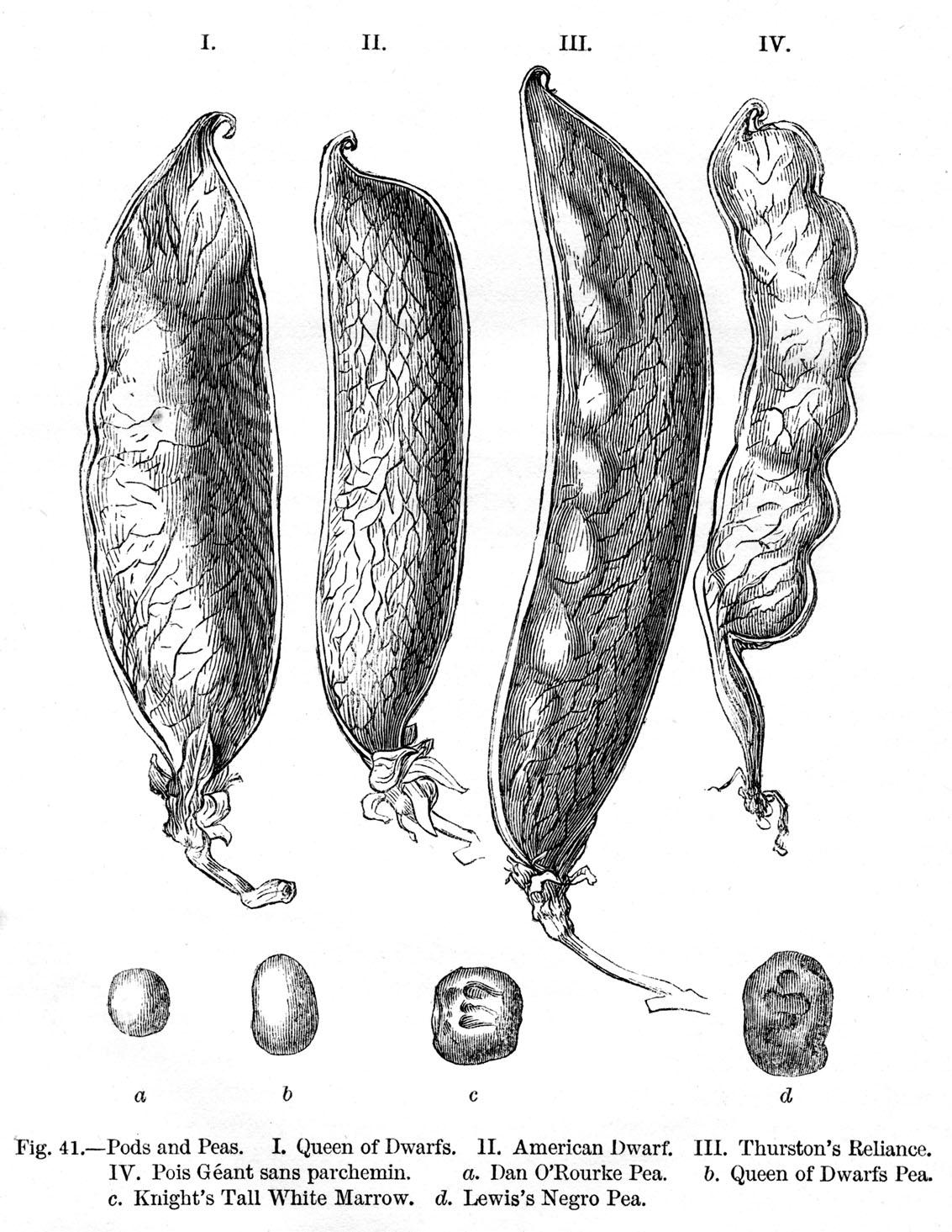 File Darwin Variation Fig41