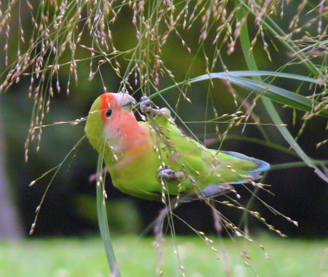 A Feral Rosy Faced Lovebird Eating Seeds In Chicago