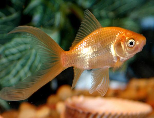 Comet (goldfish)
