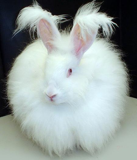 File:Fluffy white bunny rabbit.jpg
