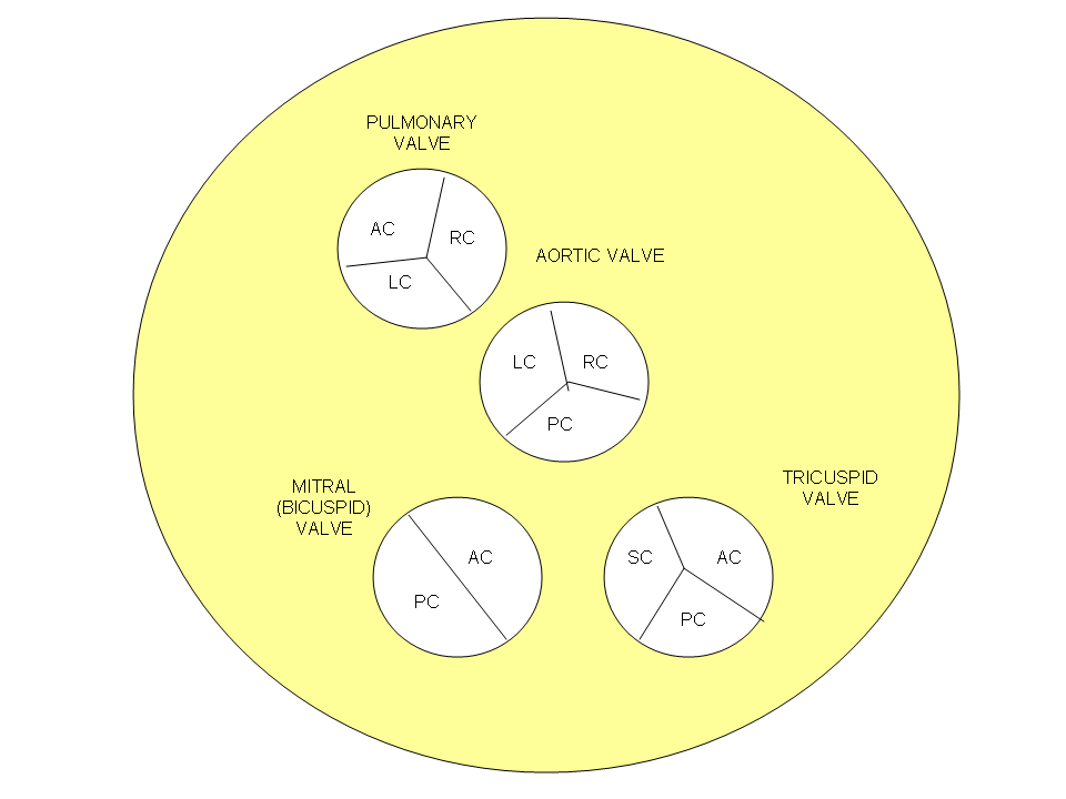 ANATOMY [gross and organogenesis] | proba123