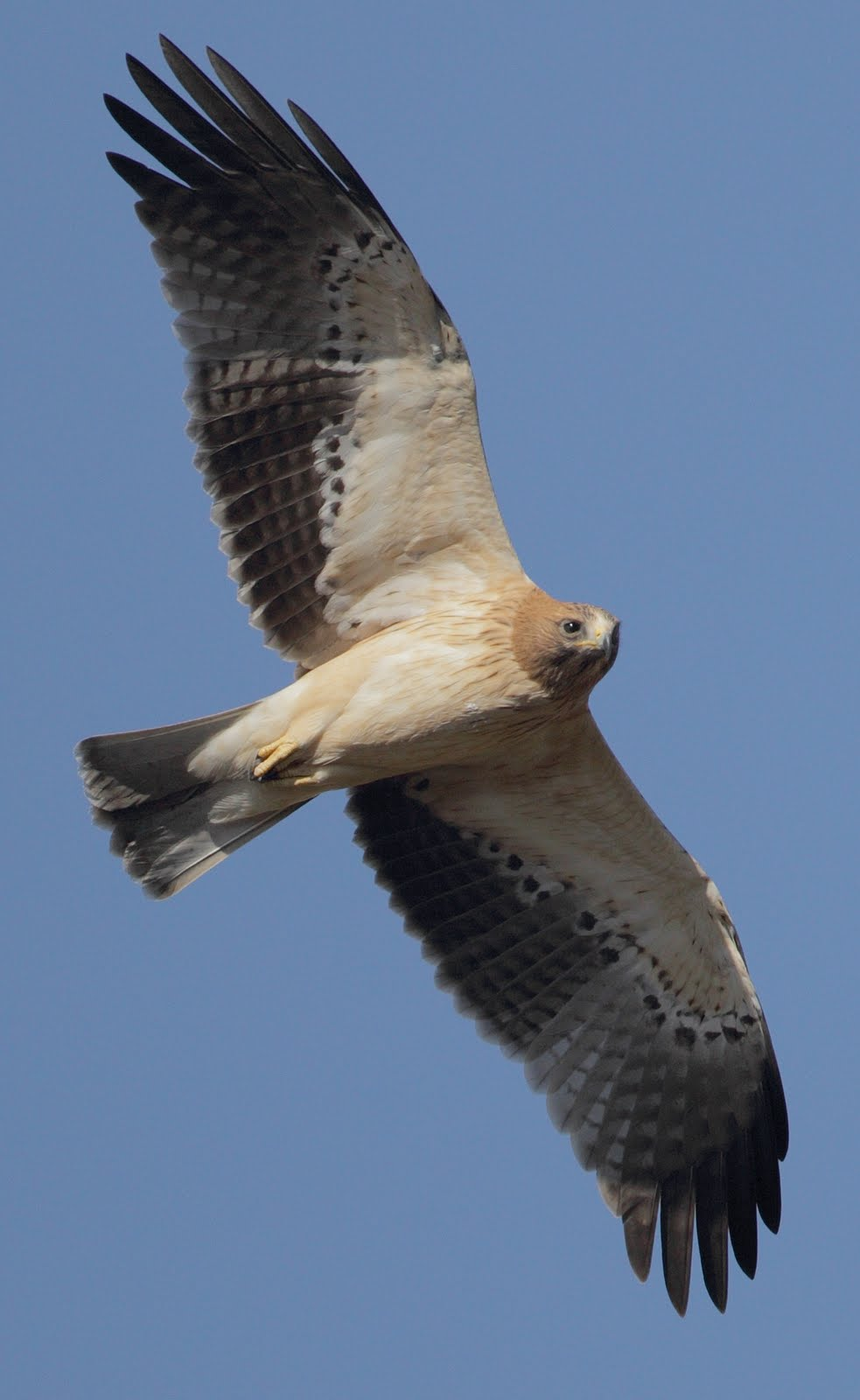English: Flying booted eagle, pale morph
