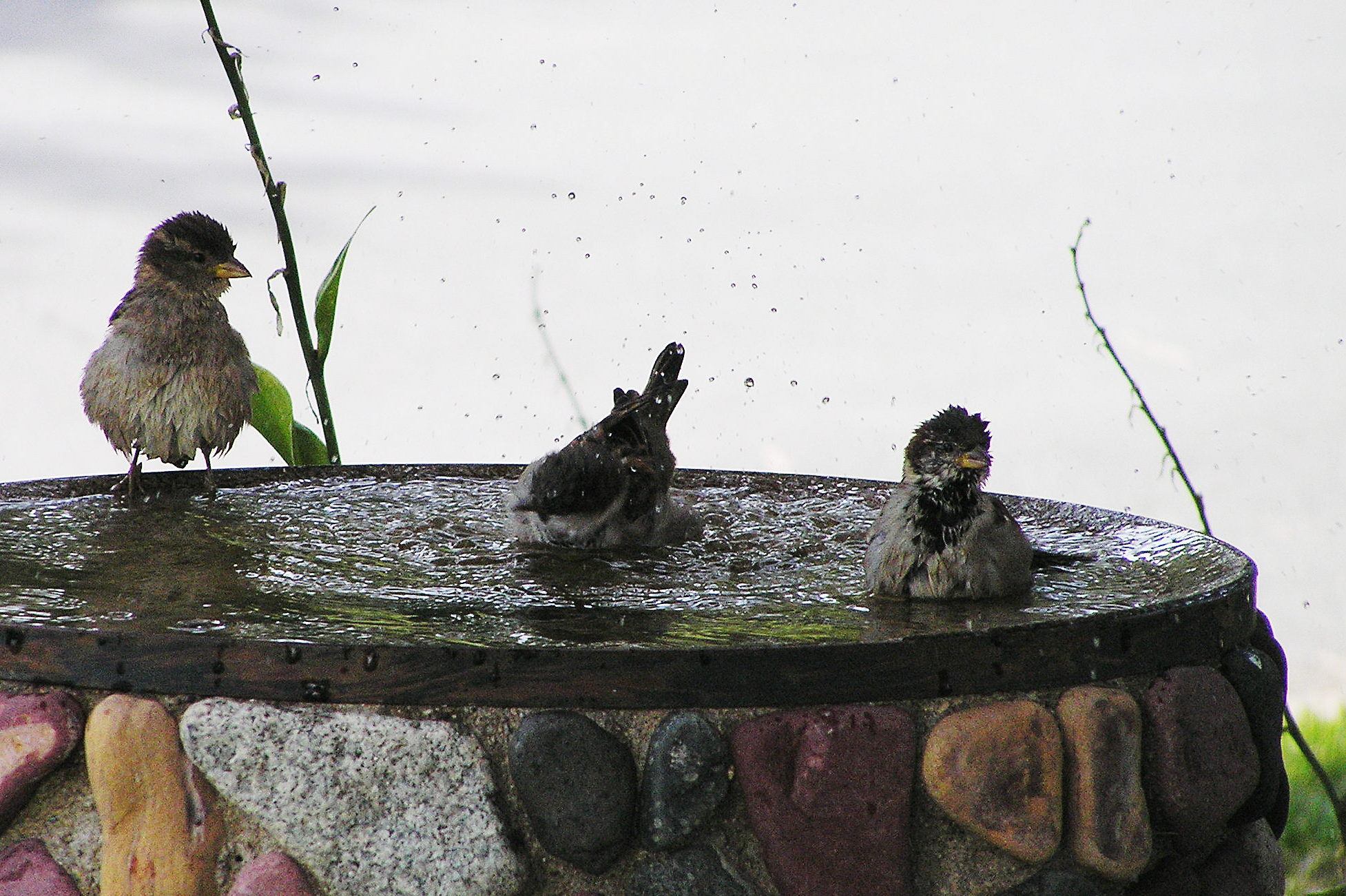 English: House Sparrows bathing