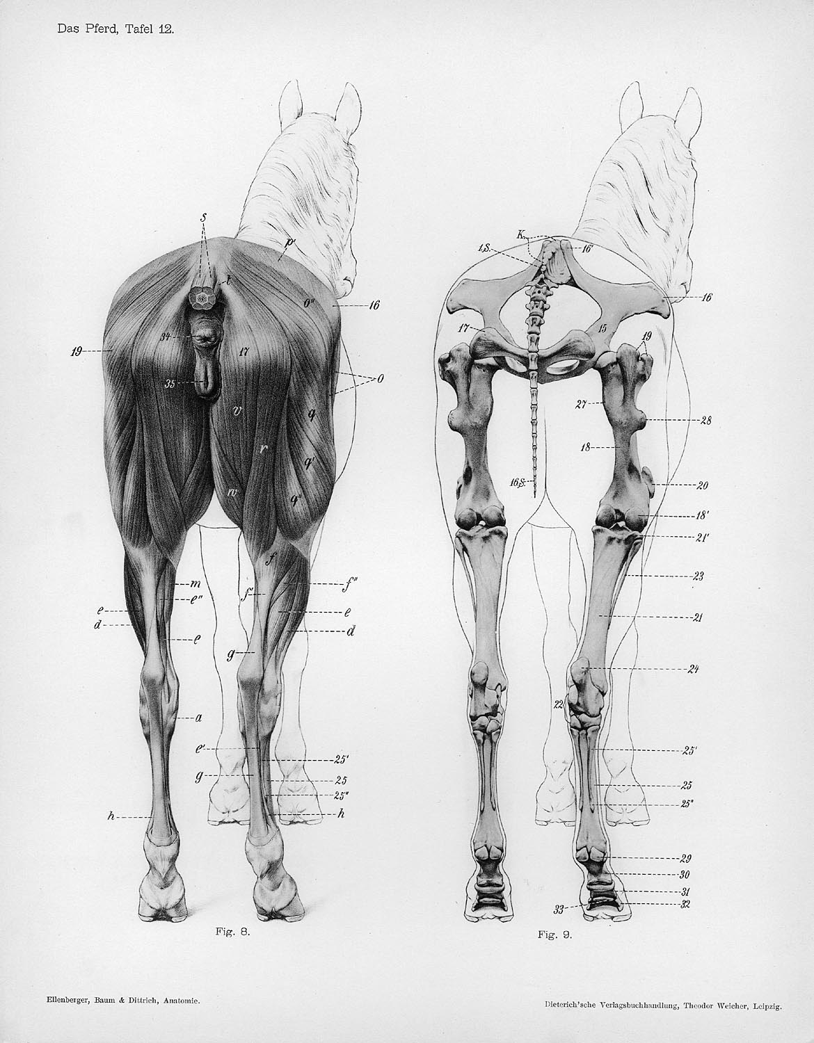 File Horse Anatomy Posterior View