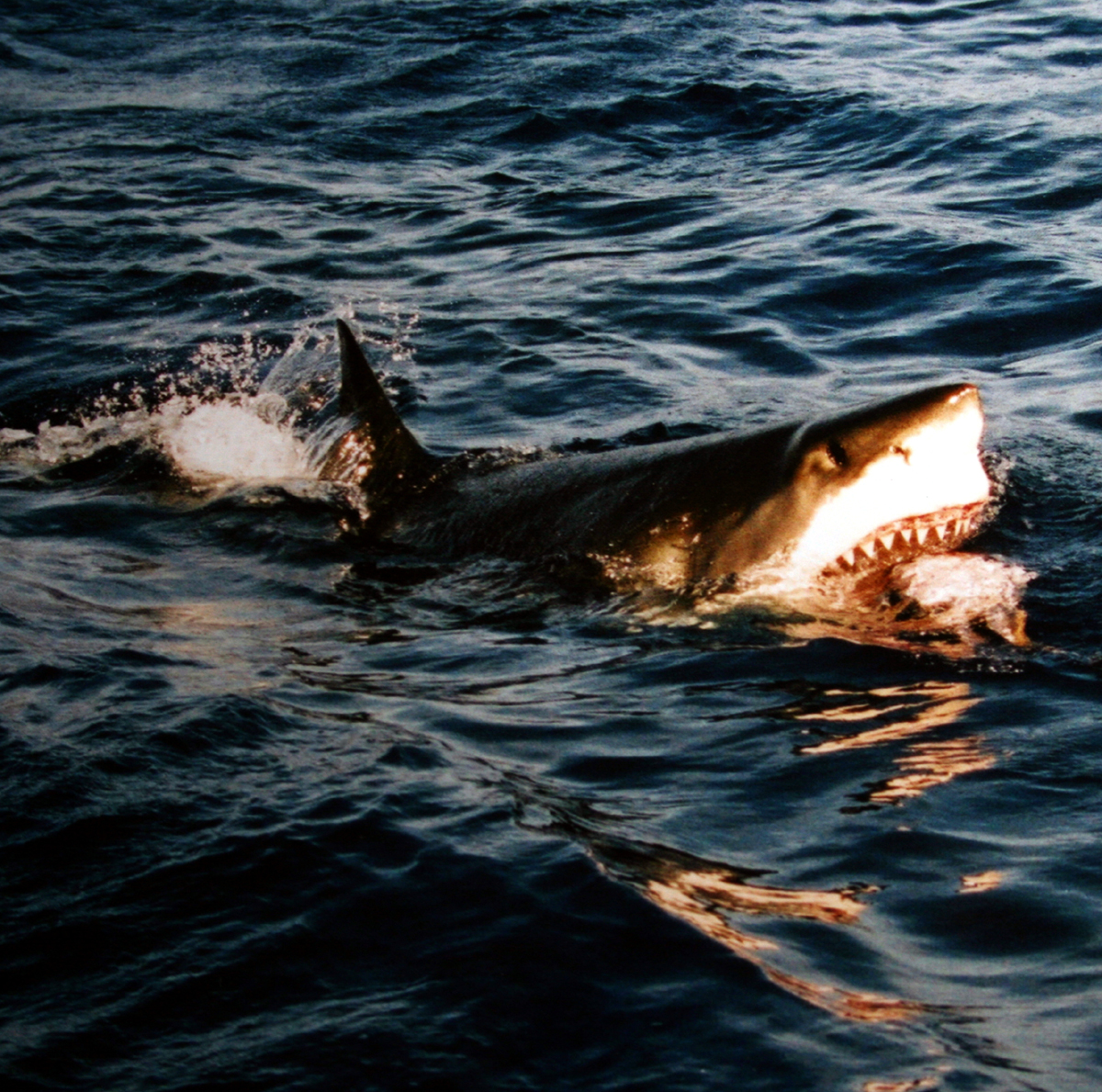 How much do white sharks eat? A white shark chasing after bait