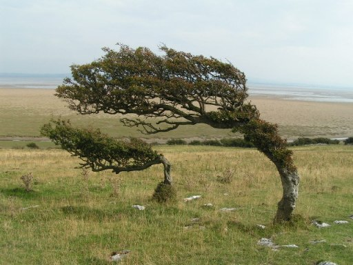 Windblown trees, Humphrey Head - geograph.org.uk - 48659