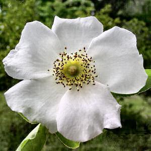 File:Cherokee rose.jpg