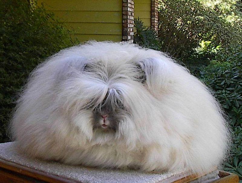 กระต่ายแองโกร่า