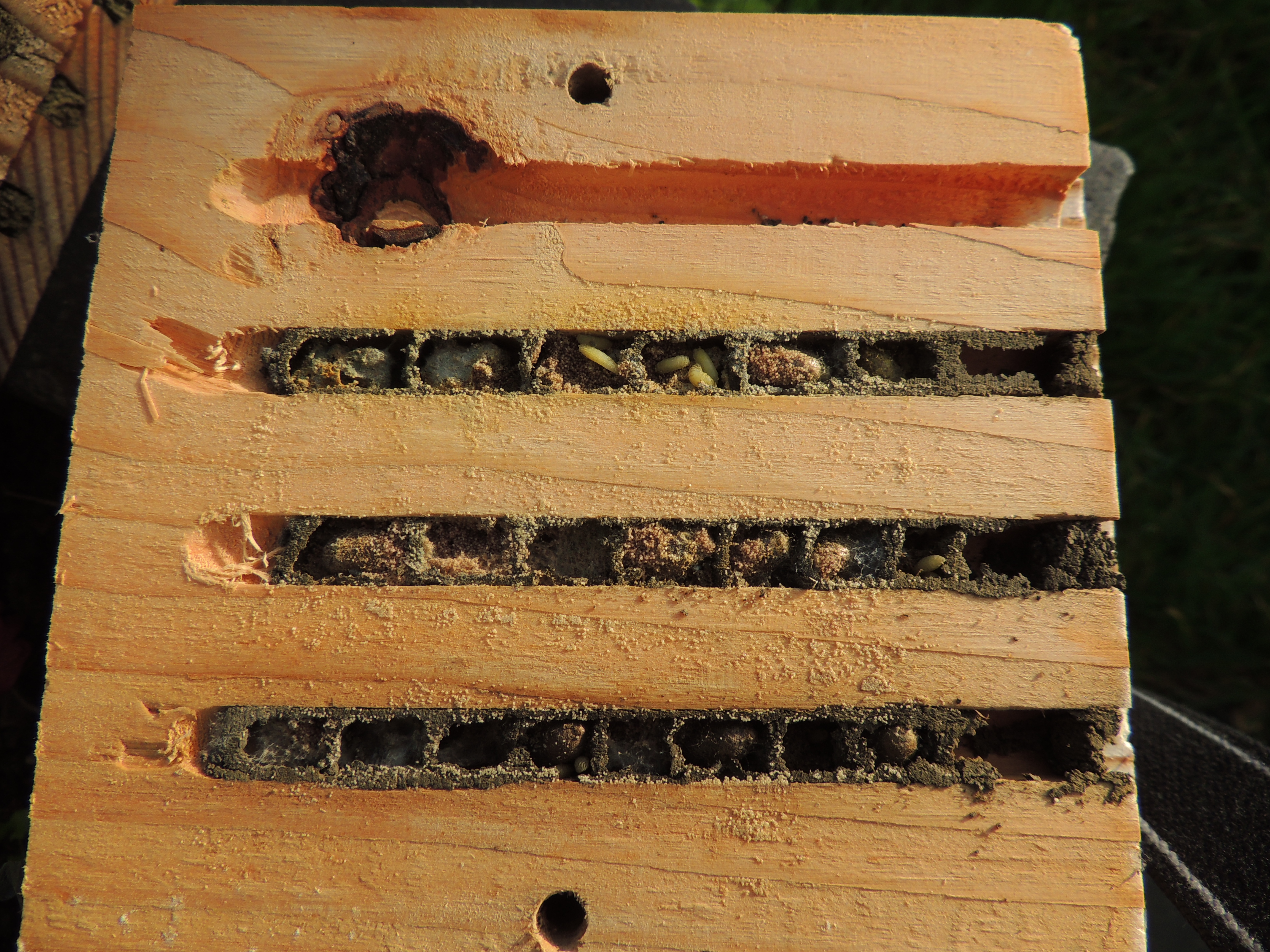 FileRed Mason Bee Osmia Bicornis Nest Cells In A Bee