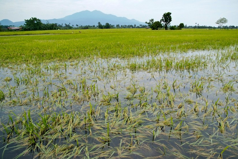 Image result for wet field rice cultivation