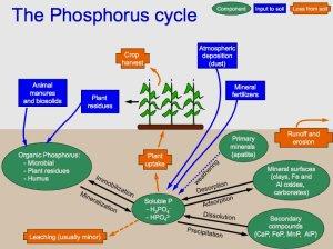 Phosphorus cycle  Wikiwand