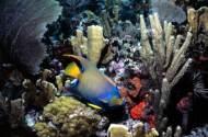 Queen Angelfish at John Pennekamp Coral Reef State Park Key Largo Florida Keys Reefs