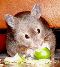 English: Sable short-haired Syrian Hamster.