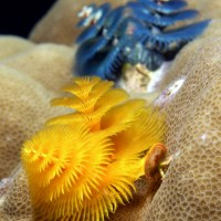 CHRISTMAS TREE WORMS: FESTIVE CREATURES OF THE CORAL REEF