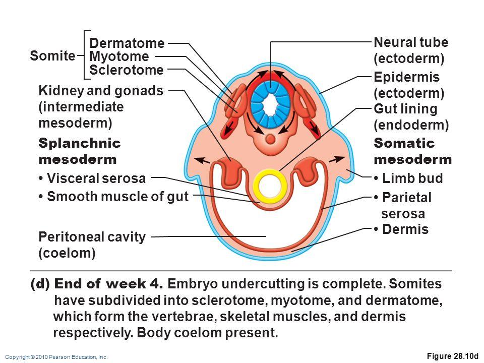 Vs Myotome Dermatome