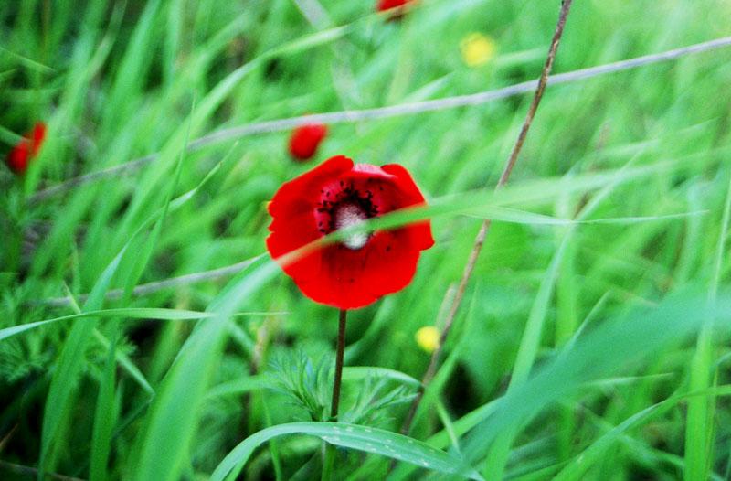 Poppy in Israel. Photographed by Pixie (username in en, de, he Wikipedias)