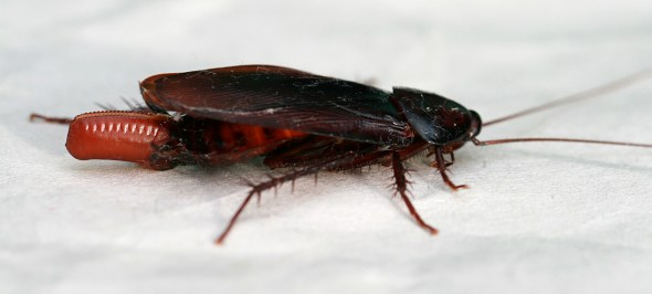 English: A cockroach (Periplaneta fuliginosa) ...