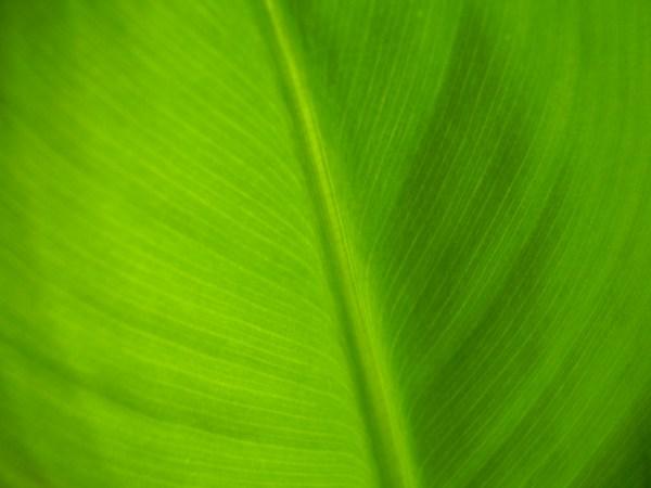 File:Dwarf cavendish leaf.JPG - Wikimedia Commons