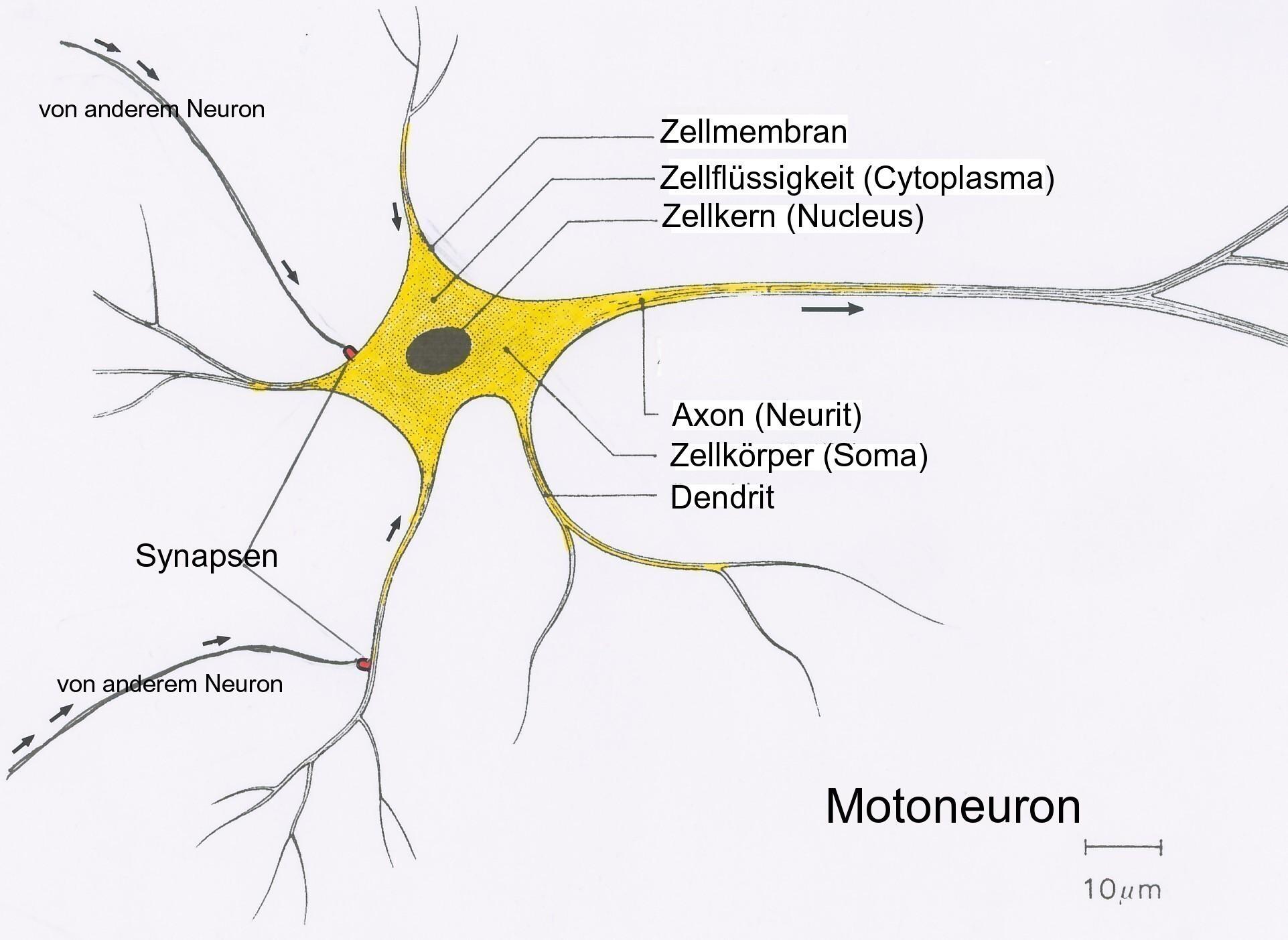 Datei Neuron5 Wikipedia