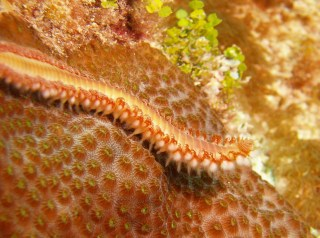 Red fireworm on red coral showing setae and parapodia.