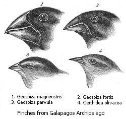 Pinzones de las Galápagos