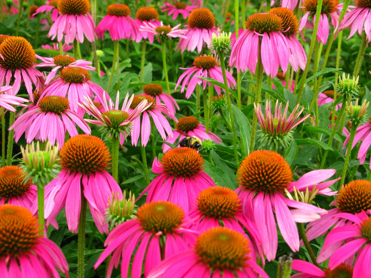Описание Echinacea purpurea with Bumble-bee.jpg