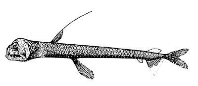 Chauliodus danae
