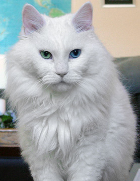 An odd-eyed deaf white cat named Sebastian