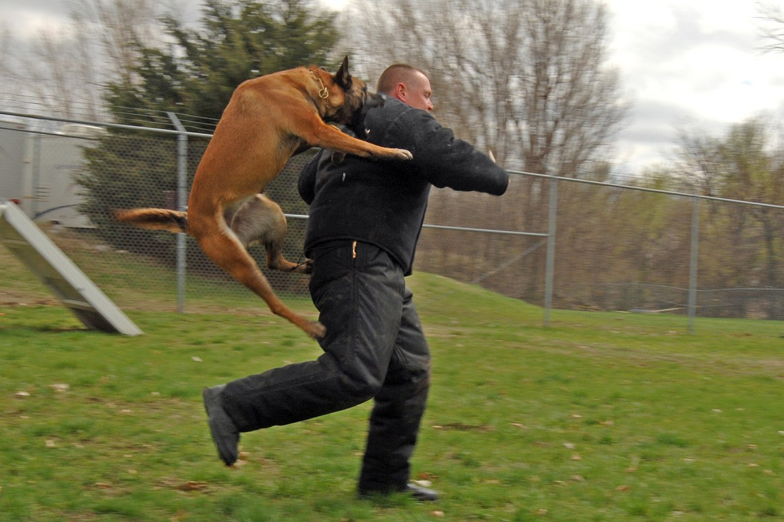 %name Trained Pitbull Guard Dogs For Sale