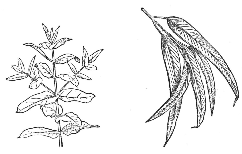 File Psm V27 D371 Arrangement Of The Eucalyptus Leaves