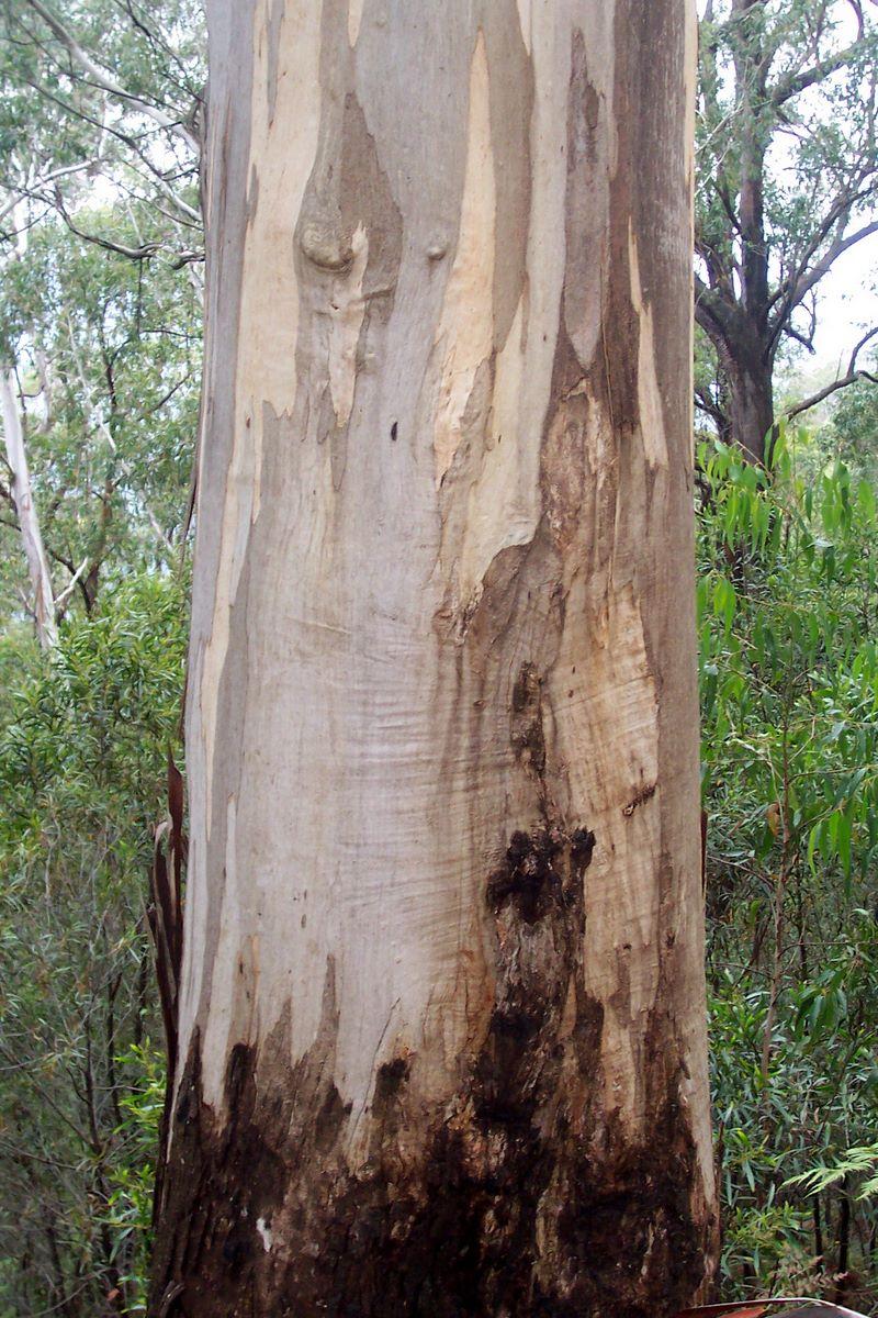 Eucalyptus Cypellocarpa Wikipedia