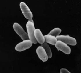Archaea (Halobacteria)