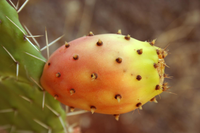 Opuntia ficus-indica (Tuna Fruit)