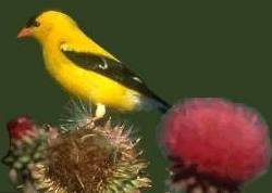 American Goldfinch on Thistle