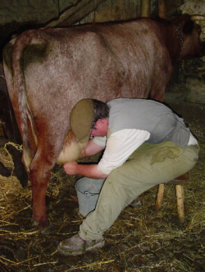 Man milking a cow the old-fashioned way