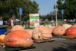 Image result for giant pumpkin