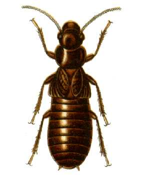 Mastotermes darwiniensis or Darwin Termite, is...