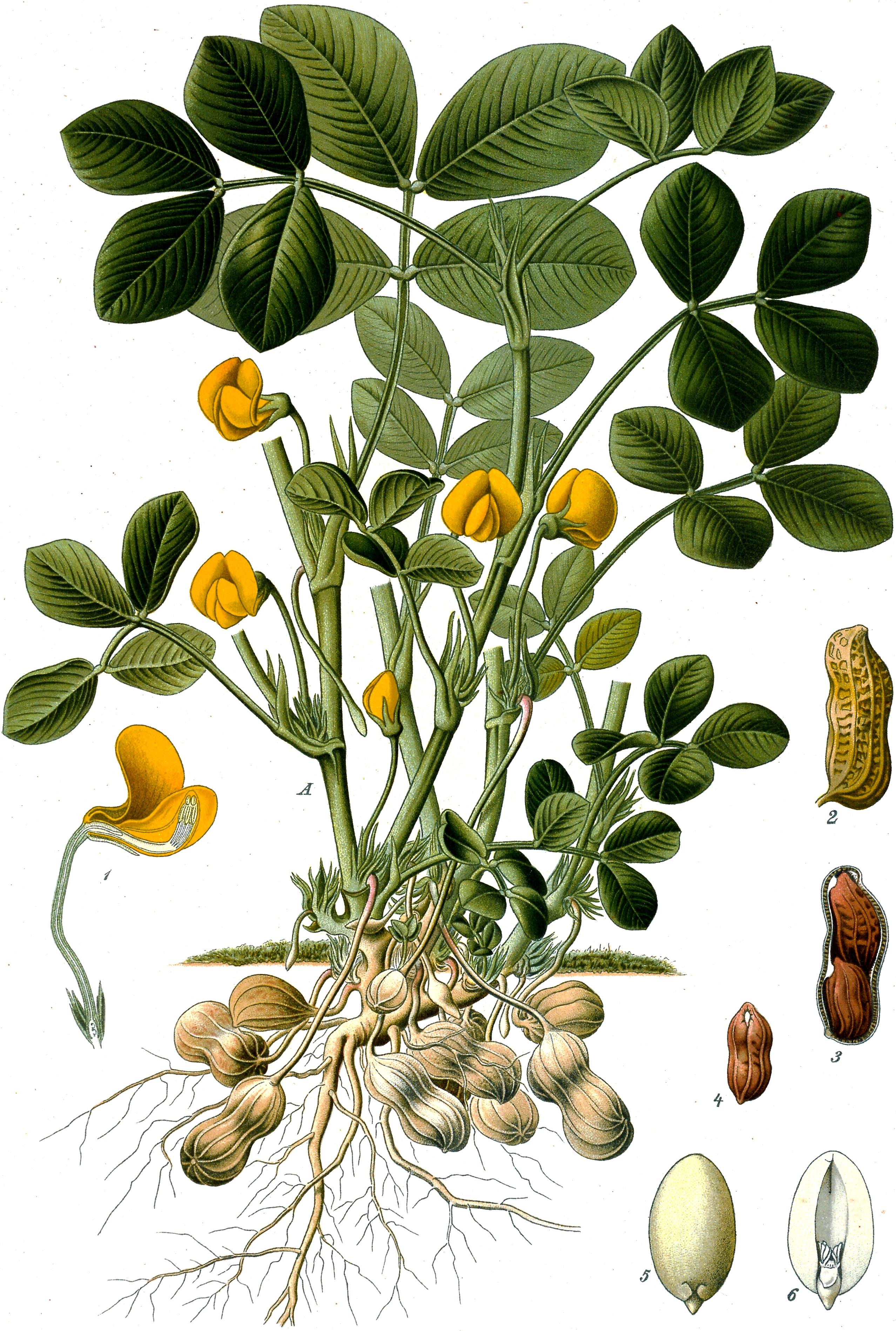 Planta del cacahuete