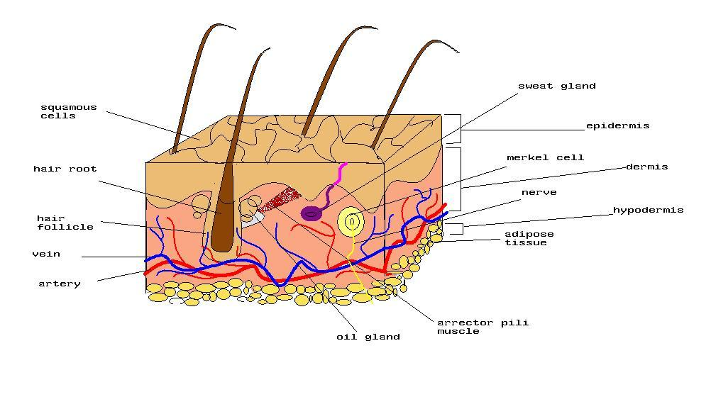 Human Integumentary System Diagram On Structure